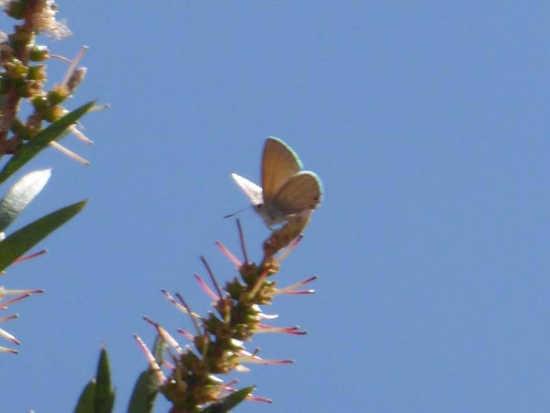 Nacaduba biocellata at Jerrabomberra Wetlands - 14 Dec 2019
