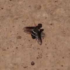 Villa sp. (genus) (Unidentified Villa bee fly) at Campbell Park Woodland - 14 Dec 2019 by DPRees125