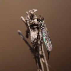Cerdistus sp. (genus) (Robber fly) at Majura, ACT - 14 Dec 2019 by DPRees125