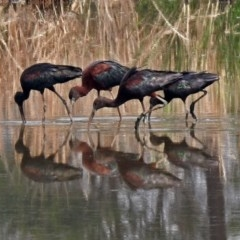 Plegadis falcinellus (Glossy Ibis) at Jerrabomberra Wetlands - 12 Dec 2019 by RodDeb
