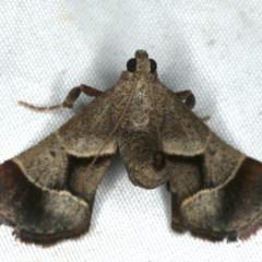 Gauna aegusalis (Rust Gall Moth) at Rosedale, NSW - 16 Nov 2019 by jbromilow50