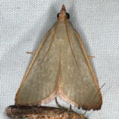 Ocrasa acerasta (A Pyralid moth) at Rosedale, NSW - 16 Nov 2019 by jbromilow50