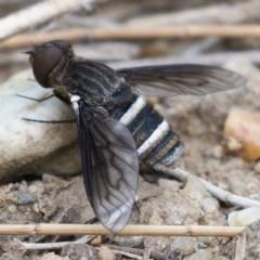 Villa sp. (genus) (Unidentified Villa bee fly) at Molonglo River Park - 14 Dec 2019 by Marthijn