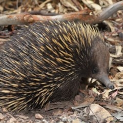 Tachyglossus aculeatus (Short-beaked Echidna) at ANBG - 14 Dec 2019 by Tim L
