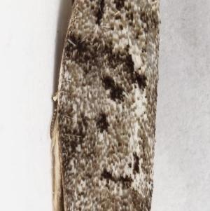 Philobota philostaura at Kambah, ACT - 16 Dec 2019