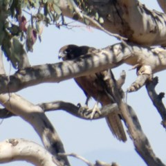 Falco berigora (Brown Falcon) at Wandiyali-Environa Conservation Area - 15 Dec 2019 by Wandiyali