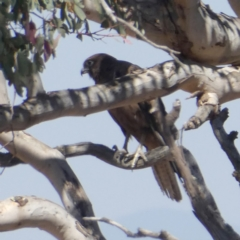 Falco berigora at Wandiyali-Environa Conservation Area - 16 Dec 2019