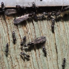 Ochetellus sp. (genus) (Black House Ant) at Acton, ACT - 8 Dec 2019 by TimL