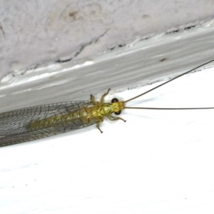 Italochrysa sp. (genus) at Ainslie, ACT - 15 Dec 2019
