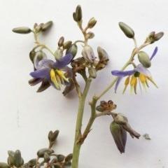 Dianella sp. aff. longifolia (Benambra) (Pale Flax Lily, Blue Flax Lily) at Hughes Garran Woodland - 16 Nov 2019 by ruthkerruish