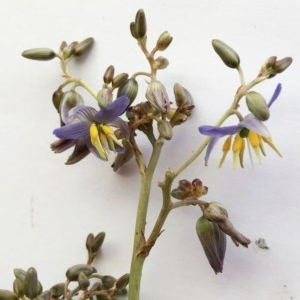 Dianella sp. aff. longifolia (Benambra) at Hughes Garran Woodland - 16 Nov 2019