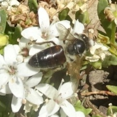 Apis mellifera (European honey bee) at Sth Tablelands Ecosystem Park - 11 Dec 2019 by galah681