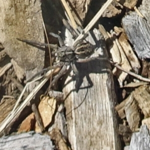 Venatrix sp. (genus) at Molonglo Valley, ACT - 12 Dec 2019