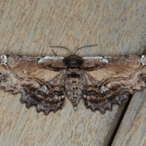 Pholodes sinistraria at Ainslie, ACT - 16 Dec 2019
