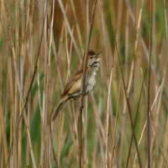Acrocephalus australis (Australian Reed-Warbler) at Wingecarribee Local Government Area - 14 Dec 2019 by Snowflake