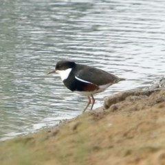 Erythrogonys cinctus (Red-kneed Dotterel) at Moss Vale - 14 Dec 2019 by Snowflake