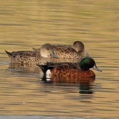 Anas castanea (Chestnut Teal) at Moss Vale - 14 Dec 2019 by Snowflake