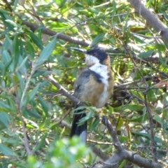 Acanthorhynchus tenuirostris (Eastern Spinebill) at Sth Tablelands Ecosystem Park - 14 Feb 2015 by AndyRussell