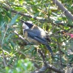 Acanthorhynchus tenuirostris at Sth Tablelands Ecosystem Park - 15 Feb 2015