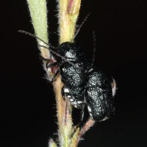 Aporocera (Aporocera) scabrosa at Ainslie, ACT - 14 Dec 2019