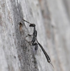 Gasteruption sp. (genus) (Gasteruptiid wasp) at ANBG - 17 Dec 2019 by TimL