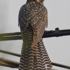 Eudynamys orientalis (Eastern Koel) at Kambah, ACT - 17 Dec 2019 by Marthijn