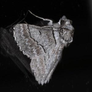 Hypobapta tachyhalotaria at Ainslie, ACT - 17 Dec 2019