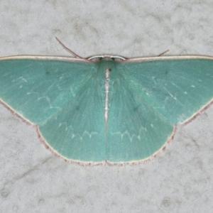 Chlorocoma dichloraria at Ainslie, ACT - 17 Dec 2019