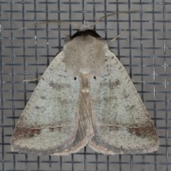 Pantydia sparsa ( A noctuid moth) at Ainslie, ACT - 17 Dec 2019 by jbromilow50