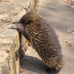 Tachyglossus aculeatus (Short-beaked Echidna) at ANBG - 17 Dec 2019 by Tim L
