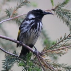 Phylidonyris niger X novaehollandiae (Hybrid) (White-cheeked X New Holland Honeyeater (Hybrid)) at Jerrabomberra Wetlands - 17 Dec 2019 by RodDeb
