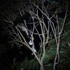Petauroides volans (Greater Glider) at Penrose - 18 Dec 2019 by Aussiegall