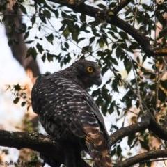 Ninox strenua (Powerful Owl) at Illaroo, NSW - 18 Dec 2019 by Ry