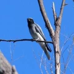 Coracina novaehollandiae (Black-faced Cuckooshrike) at Upper Nepean - 7 Nov 2018 by JanHartog
