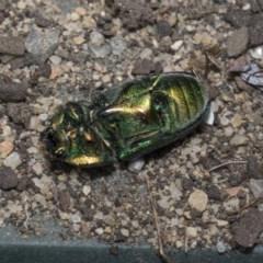 Lamprima aurata (Golden stag beetle) at Higgins, ACT - 17 Dec 2019 by AlisonMilton