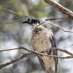 Philemon corniculatus (Noisy Friarbird) at Higgins, ACT - 30 Nov 2019 by Alison Milton
