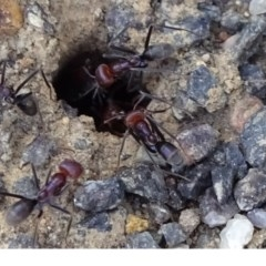 Iridomyrmex purpureus (Meat Ant) at ANBG - 17 Oct 2018 by JanetRussell