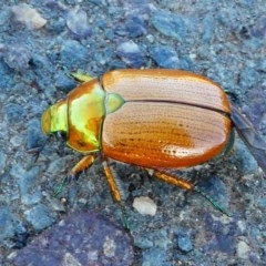 Anoplognathus chloropyrus (Green-tailed Christmas beetle) at Kambah, ACT - 4 Dec 2019 by HarveyPerkins