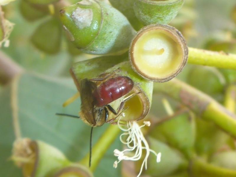 Lasioglossum (Parasphecodes) sp. (genus & subgenus) at ANBG - 13 Apr 2017