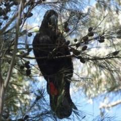 Calyptorhynchus lathami (Glossy Black-Cockatoo) at Woodlands - 12 Jan 2017 by JanHartog