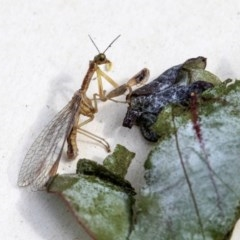 Mantispidae (family) (Unidentified mantisfly) at Higgins, ACT - 13 Dec 2019 by AlisonMilton