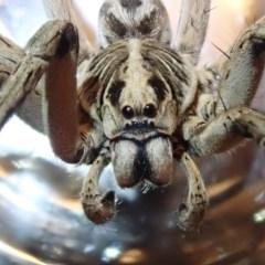 Tasmanicosa godeffroyi (Garden Wolf Spider) at Spence, ACT - 19 Dec 2019 by Laserchemisty