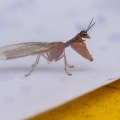 Mantispidae (family) (Unidentified mantisfly) at Higgins, ACT - 26 Dec 2015 by AlisonMilton