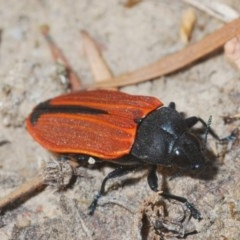 Castiarina erythroptera (Lycid Mimic Jewel Beetle) at Black Mountain - 16 Dec 2019 by Harrisi
