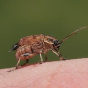 Cadmus sp. (genus) at Acton, ACT - 17 Dec 2019