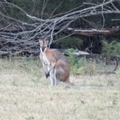 Macropus rufogriseus (Red-necked Wallaby) at Penrose State Forest - 5 Jan 2017 by JanHartog
