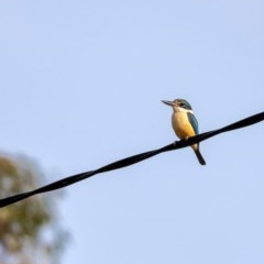 Todiramphus sanctus (Sacred Kingfisher) at Penrose - 8 Dec 2019 by Aussiegall