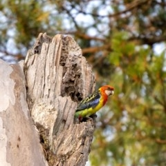 Platycercus eximius (Eastern Rosella) at Penrose, NSW - 8 Dec 2019 by Aussiegall
