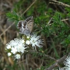 Neolucia agricola (TBC) at - 27 Oct 2017 by JanHartog