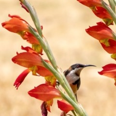 Acanthorhynchus tenuirostris (Eastern Spinebill) at - 11 Dec 2019 by Aussiegall
